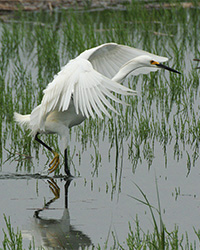 snowy egret arching wings