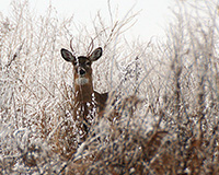 deer among snowy branches