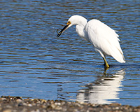 snowy egret eating an eel