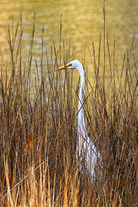 great egret among the reeds at sunrise