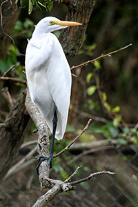 great egret perched on a branch