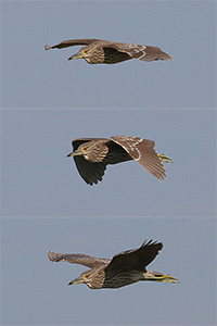composite of young night heron in flight