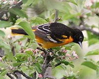 baltimore oriole feeding on apple blossoms