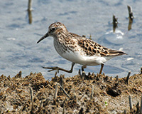 sandpiper strolling through a marsh