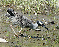 yellow crowned night heron hunting crabs