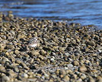 sand piper camoflaged  among the rocks on the shore