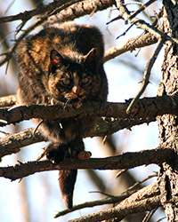 feral cat in pine ree