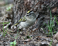 golden crowned kinglet at base of a tree