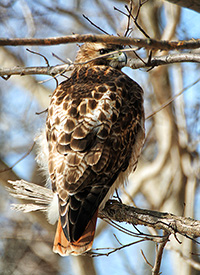 redtail hawk perched ion a branch