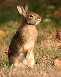 rabbit standing in the sun