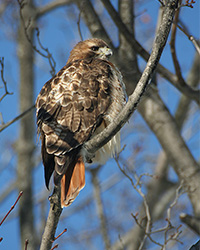 red tailed hawk perched in a tree