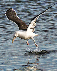 seagull dancing on water