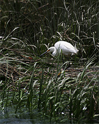 snowy egret seaking though marsh grass