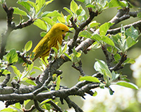 yellow warbler perched in pear tree