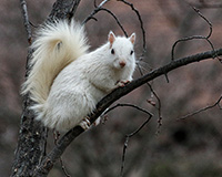white squirrel in a branch in winter